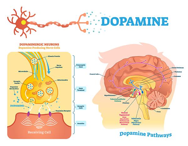 Gut health effect on dopamine
